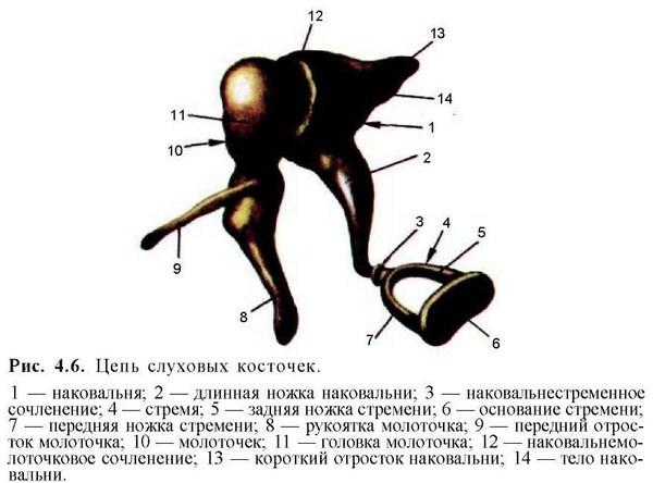 Слуховые косточки среднего уха