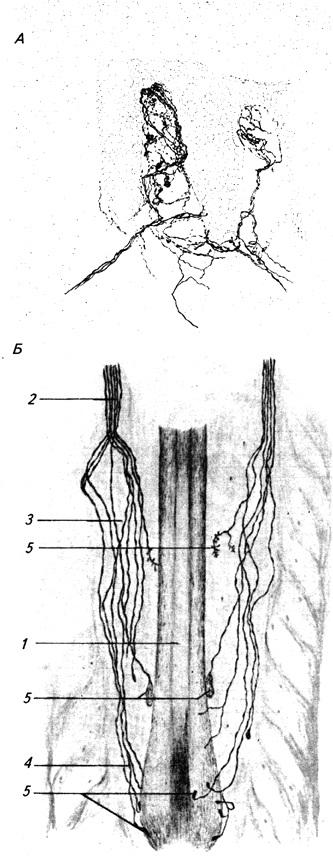 Свободные нервные окончания А – в коже человека (по Догелю);Б – рецепторный аппарат волоса