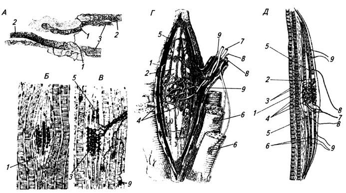 Мышечные веретена