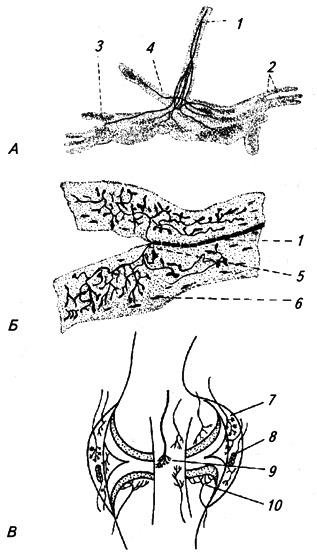 Рецепторные окончания в сухожилиях (по Догелю)