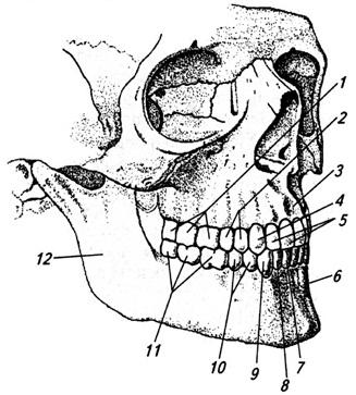 Зубы верхней и нижней челюстей взрослого человека