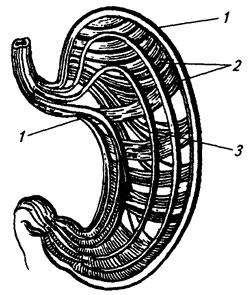 Рис. 4.14. Мышечная оболочка желудка: схема расположения мышечных слоев: 1 - продольный мышечный слой; 2 - циркулярный мышечный слой; 3 - слой косых мышечных волокон