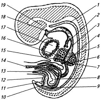 Пищеварительная система 1,5 месячного зародыша человека