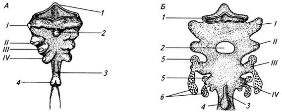 Развитие глоточной области кишки у зародыша человека