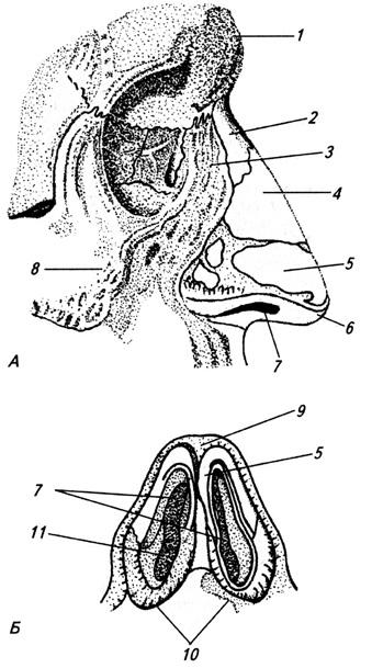 Хрящи носа