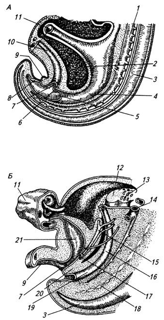 Закладка мочеполовой системы зародыша человека