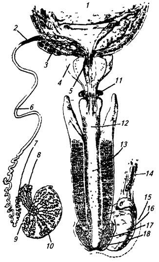 Строение половых органов мужчины