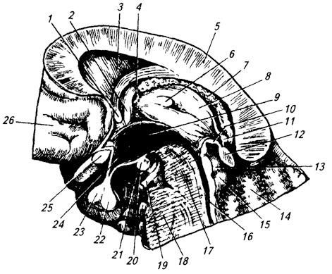 Гипофиз и эпифиз