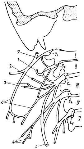 Схема шейного сплетения