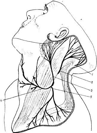 Кожные ветви шейного сплетения