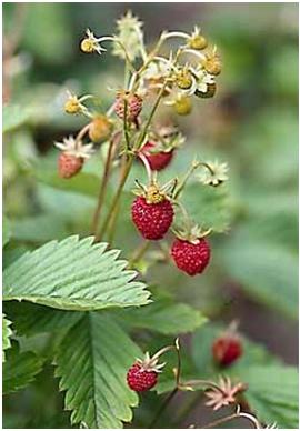 Земляника лесная – Fragaria vesca L.