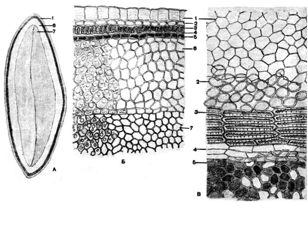 Микроскопия семени льна