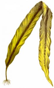 Рис. 4.30. Ламинария сахаристая