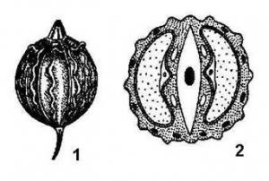 Плод кориандра