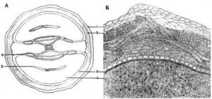 Микроскопия плода кориандра