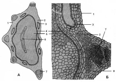 Микроскопия плода фенхеля