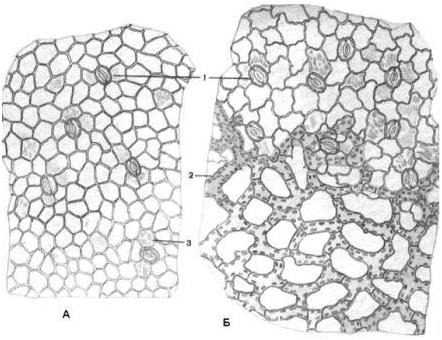 Рис. 5.64. Микроскопия листа вахты: А – эпидермис верхней стороны листа; Б – эпидермис нижней стороны листа: 1 – устьица; 2 – аэренхима; 3 – складчатость кутикулы.