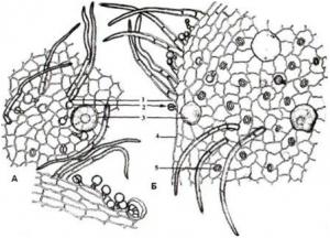 Микроскопия листа шалфея лекарственного