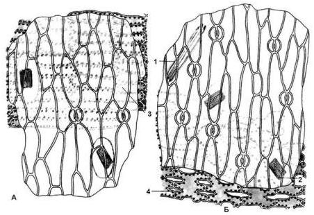 Рис. 6.11. Микроскопия листа ландыша: А – эпидермис верхней стороны; Б – эпидермис нижней стороны: 1 – игольчатые кристаллы кальция оксалата (стилоиды); 2 – рафиды кальция оксалата; 3 – палисадная ткань; 4 – губчатая ткань.