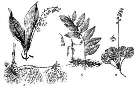 Рис. 6.12. Ландыш майский (а) и сходные виды: б – купена душистая (Polygonatum odoratum (Mill.) Druce); в - грушанка круглолистная (Pyrola rotundifolia L.).