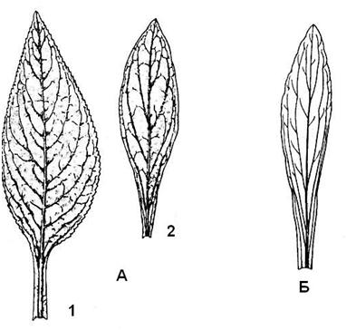 Рис. 6.3. Листья наперстянок: А – н. пурпуровая: 1 – прикорневой лист; 2 – стеблевой лист; Б – н. шерстистая.