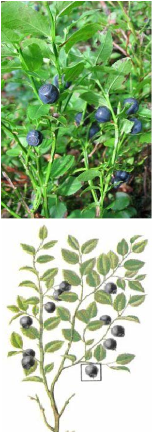 Рис. 9.24. Черника - Vaccinium myrtillus L.