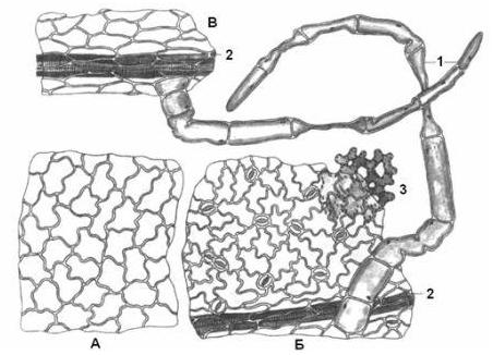 Микроскопия листа чистотела