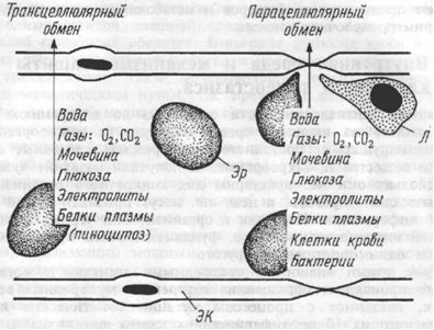 Транспорт веществ через стенку капилляра.