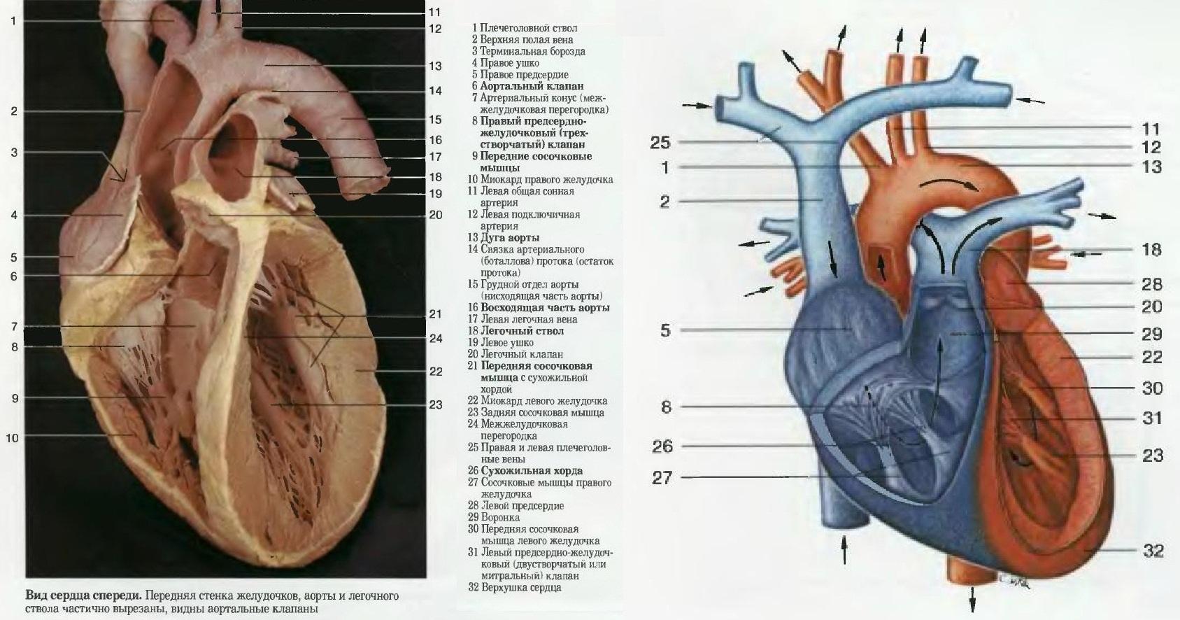 Internal heart anatomy