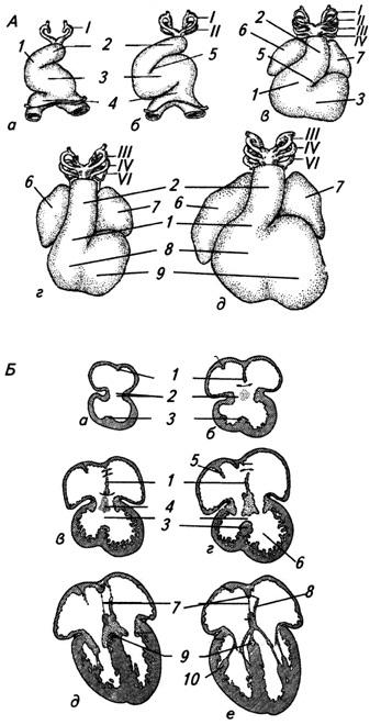 Развитие сердца у зародыша человека