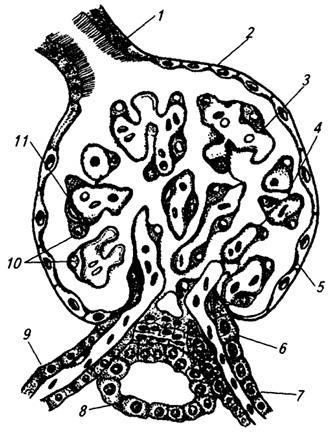 Капсула нефрона