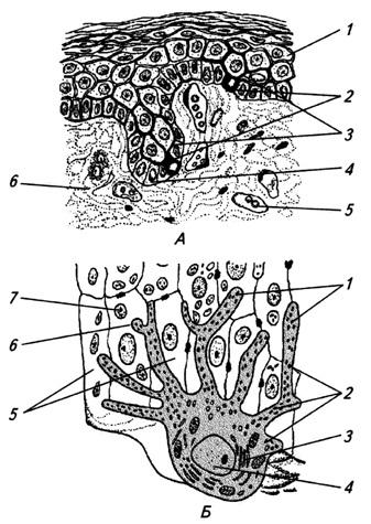 Меланоциты кожи